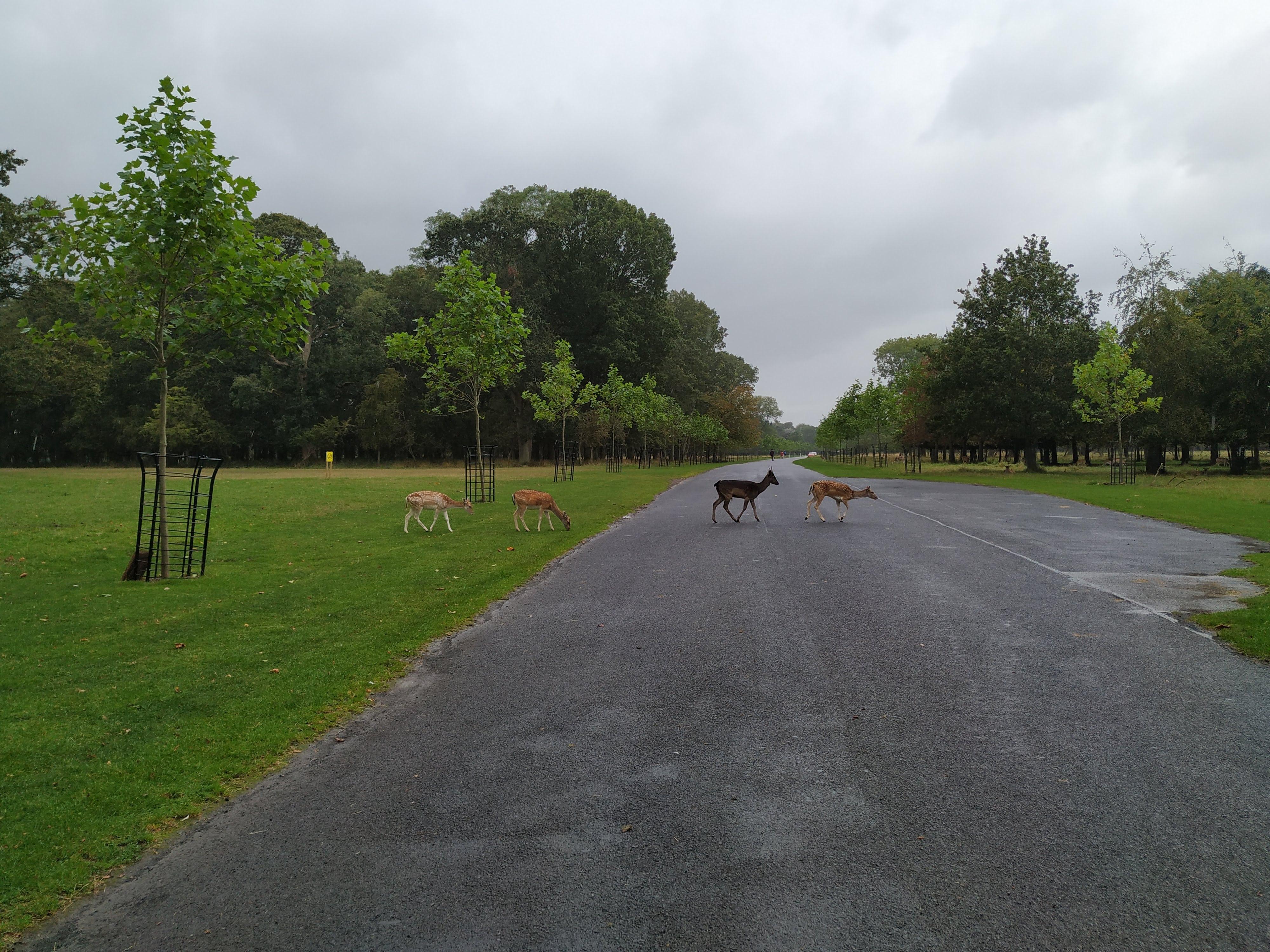 Phoenix Park Dublín. Ciervos en libertad.